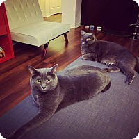 Adopt A Pet :: SMOKY (BONDED WITH MISTY) - THORNHILL, ON