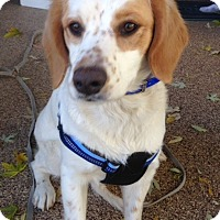 Brittany/Springer Spaniel Mix Dog for adoption in Seattle, Washington - CO/Maysie (ADOPTION PENDING)