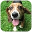 Photo 2 - Beagle Dog for adoption in Blairstown, New Jersey - Lizzie