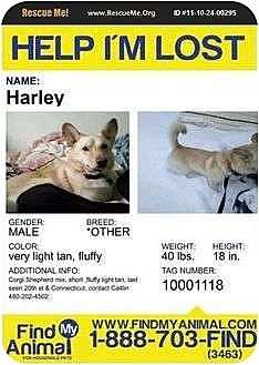 Shepherd (Unknown Type)/Corgi Mix Dog for adoption in Springfield, Virginia - HELP FIND HARLEY