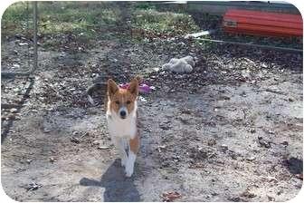 Corgi/Sheltie, Shetland Sheepdog Mix Dog for adoption in Hohenwald, Tennessee - Lia