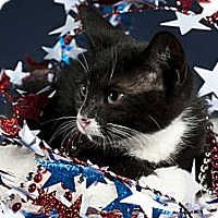 Domestic Shorthair Kitten for adoption in Wayne, New Jersey - Magical