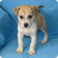 Adopt A Pet :: Blue Blood: Nicky - Palo Alto, CA