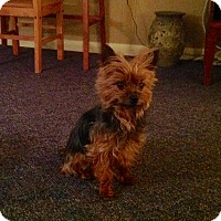Yorkie, Yorkshire Terrier Mix Dog for adoption in Guelph, Ontario - Gryffin