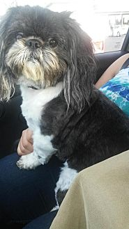 Shih Tzu Mix Dog for adoption in Dana Point, California - Tuxie
