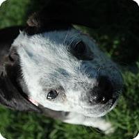Adopt A Pet :: Knox - Frisco, TX