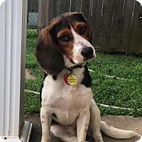 Adopt A Pet :: Barney 2 - cicero, NY