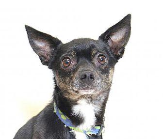Chihuahua Mix Dog for adoption in Truckee, California - Batman