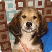Adopt A Pet :: Cottonelle - Oviedo, FL