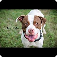 Adopt A Pet :: Calvin - Urgent! - Zanesville, OH