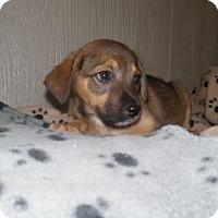Adopt A Pet :: Misty - Clarksville, AR