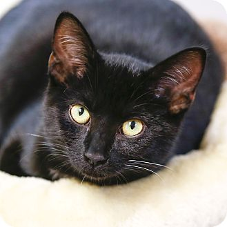 Domestic Shorthair Kitten for adoption in Kettering, Ohio - Wade