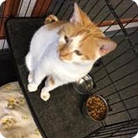 Adopt A Pet :: Pumpkin spice - Branson, MO
