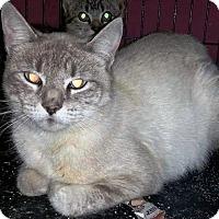Domestic Shorthair Cat for adoption in Putnam, Connecticut - Winnie