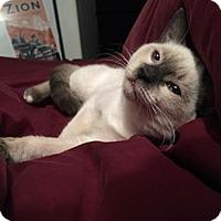 Snowshoe Kitten for adoption in Mississauga, Ontario, Ontario - Klondike