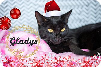 Domestic Shorthair Cat for adoption in Montclair, California - Gladys
