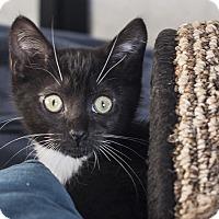 Adopt A Pet :: Yin - St Helena, CA