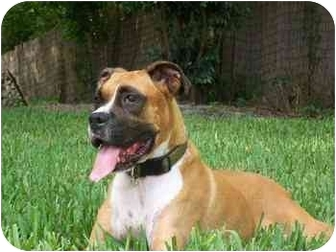 Boxer Dog for adoption in Albany, Georgia - Murphy