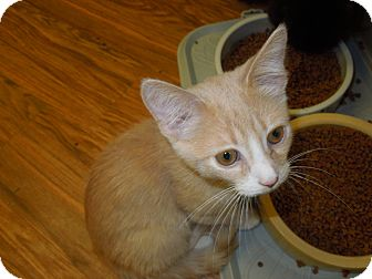 Domestic Shorthair Kitten for adoption in Medina, Ohio - Billy