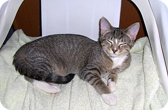Domestic Shorthair Kitten for adoption in Richmond, Virginia - Minnie