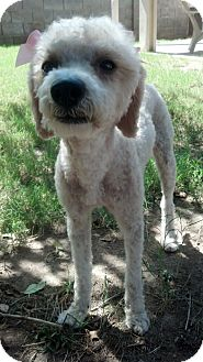 Poodle (Miniature) Dog for adoption in Las Vegas, Nevada - Valerie