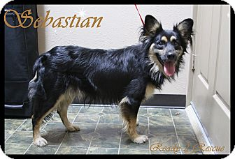 Tibetan Spaniel/Border Collie Mix Dog for adoption in Rockwall, Texas - Sebastian