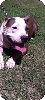 American Pit Bull Terrier Mix Dog for adoption in Blanchard, Oklahoma - Riley