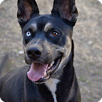 Adopt A Pet :: Cpt Kaos - Fort Riley, KS