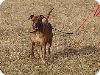 Boxer/Mastiff Mix Dog for adoption in Cameron, Missouri - Ripley