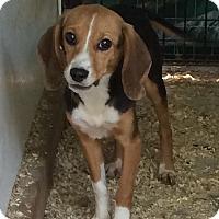 Adopt A Pet :: Ferrari - Dumfries, VA