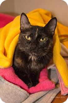 Domestic Shorthair Cat for adoption in Neenah, Wisconsin - Betsy