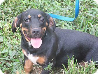 Basset Hound/Labrador Retriever Mix Puppy for adoption in Spring Valley, New York - Loki