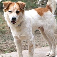 Australian Shepherd Mix Dog for adoption in Bedminster, New Jersey - Harper