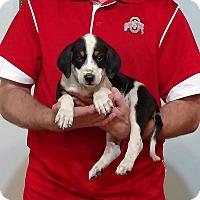 Adopt A Pet :: Shephard - New Philadelphia, OH