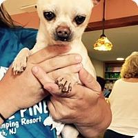 Adopt A Pet :: Romeo - Barnegat, NJ