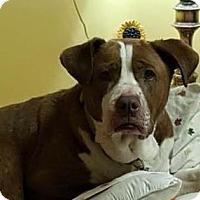 Adopt A Pet :: Cinnamon (CiCi) - Louisiana, MO