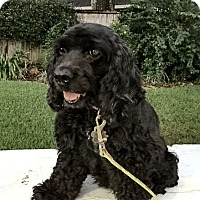 Cocker Spaniel Dog for adoption in Sugarland, Texas - Bella/Zuzu