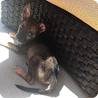 German Shepherd Dog Puppy for adoption in Mira Loma, California - Buck