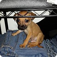 Adopt A Pet :: Tiny Tim - Hainesville, IL