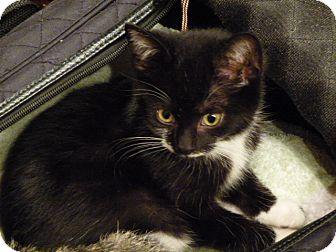 Domestic Shorthair Kitten for adoption in Toronto, Ontario - Mathilda