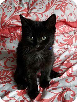 Domestic Shorthair Kitten for adoption in Jeannette, Pennsylvania - Rascal