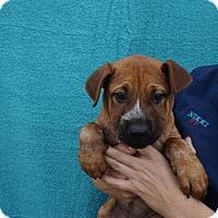 Adopt A Pet :: Thai - Oviedo, FL