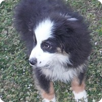 Adopt A Pet :: Ace - Manchester, NH