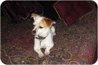 Chihuahua/Glen of Imaal Terrier Mix Dog for adoption in Memphis, Tennessee - Dot