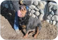 Rottweiler Dog for adoption in Surrey, British Columbia - Raven