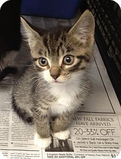 Domestic Shorthair Kitten for adoption in Island Park, New York - Neko