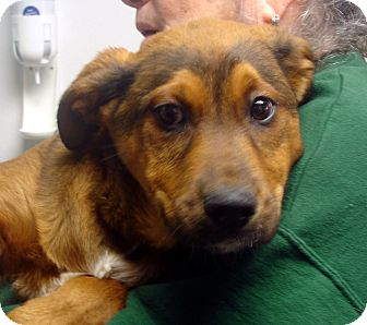 German Shepherd Dog/St. Bernard Mix Puppy for adoption in baltimore, Maryland - Whizz