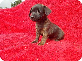 Chihuahua/Dachshund Mix Puppy for adoption in Savage, Maryland - CHIWEENIE I