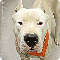 Adopt A Pet :: Ivan-Adoption Pending - Phoenix, AZ