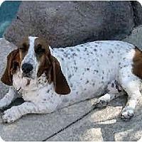 Adopt A Pet :: Shandy - Phoenix, AZ